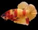 ca-betta-122-koi-nemo-galay-rac-mau-net-full-hd (2)