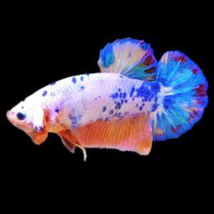 Cá Betta Đẹp