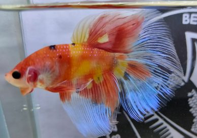 ca-betta-253-vip-halfmoon-galaxy-nemo (8)