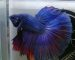 ca-betta-277-halfmoon-super-blue (1)