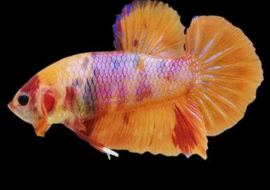 ca-betta-287-vip-galaxy-orange-cam-doc-hiem (1)