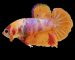 ca-betta-287-vip-galaxy-orange-cam-doc-hiem (1)