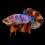 ca-betta-288-vip-koi-galaxy-kinh-van-hoa (1)