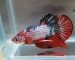 ca-betta-337-koi-fancy-super-star (5)