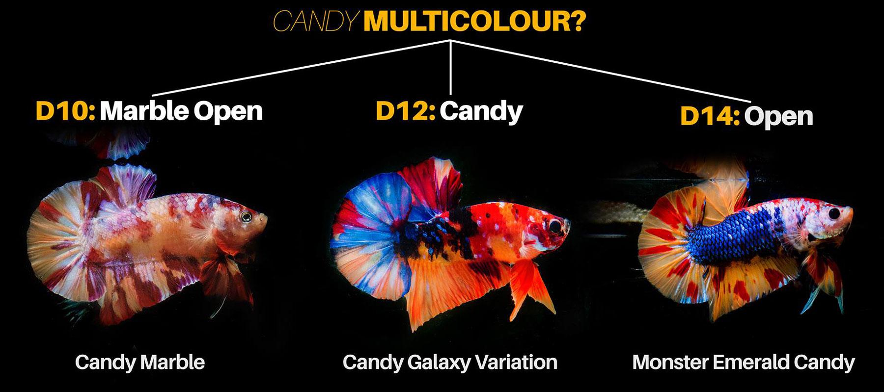 Cá betta thuộc dòng Candy Multicolour