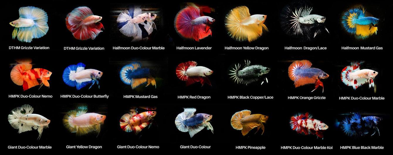 Cá betta dòng Duo-Colour