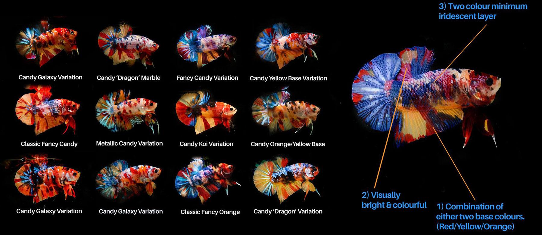 Cá betta thuộc dòng Candy HMPK