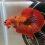 ca-betta-401-koi-nemo-galaxy-red-full-color-hd (4)