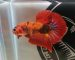ca-betta-401-koi-nemo-galaxy-red-full-color-hd (4)