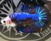 ca-betta-406-fancy-black-blue-star-hang-cuc-hiem (1)