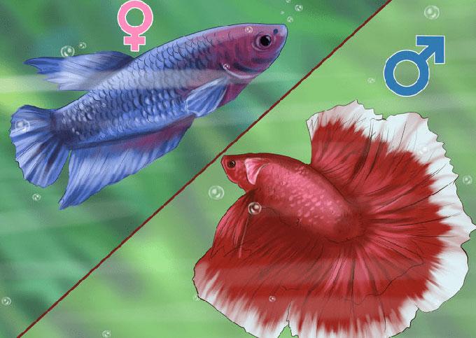 Cách phân biệt cá betta trống và cá betta mái