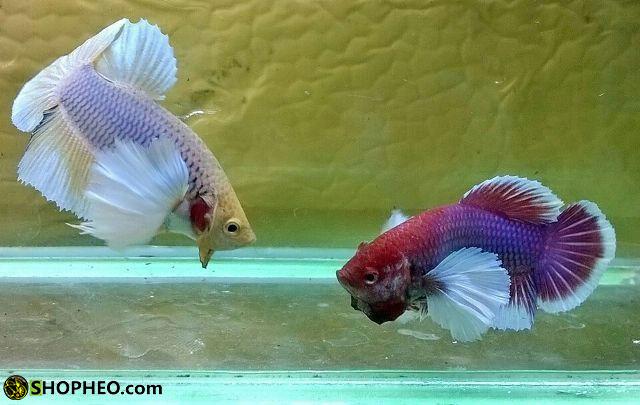 cho cá trống và cá mái làm quen nhau