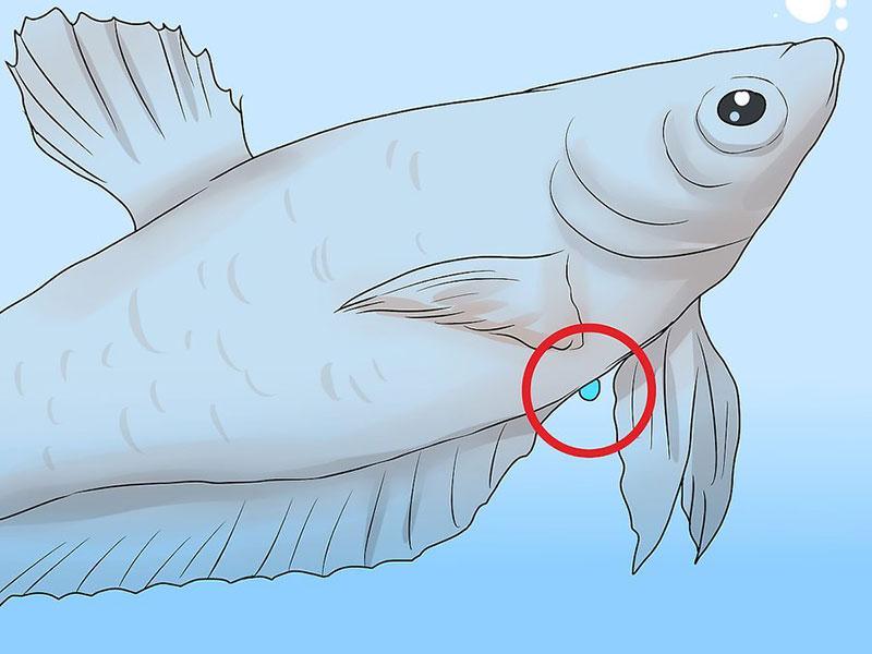 Vòi trứng màu trắng phía dưới bụng cá mái