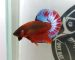 ca-betta-529-red-fancy-super-star-world (4)