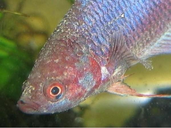 Cá Betta có nguồn gốc từ đâu và cách nuôi, cho ăn để cá Xiêm đẹp - 16