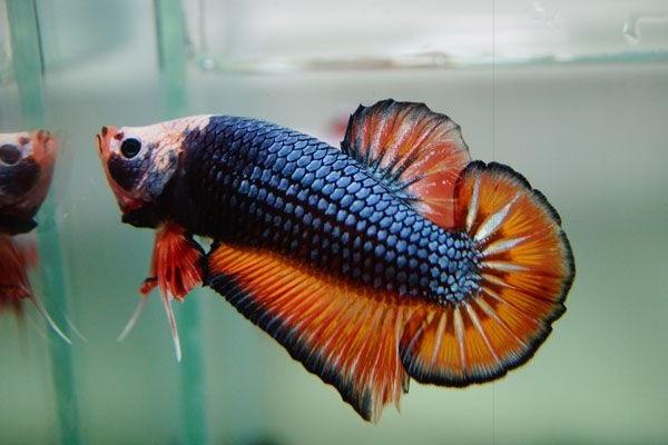 Cá Betta có nguồn gốc từ đâu và cách nuôi, cho ăn để cá Xiêm đẹp - 5