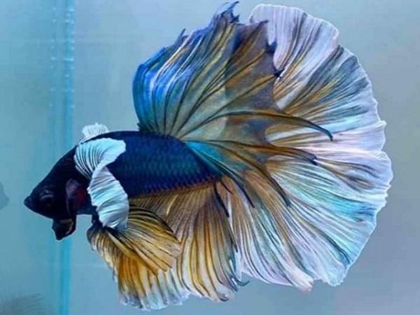 Cá Betta có nguồn gốc từ đâu và cách nuôi, cho ăn để cá Xiêm đẹp - 4