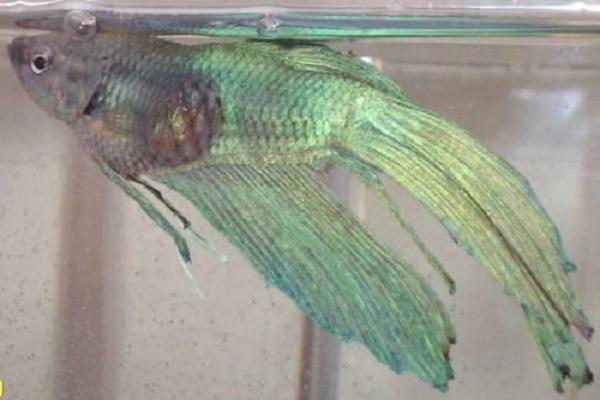 Cá Betta có nguồn gốc từ đâu và cách nuôi, cho ăn để cá Xiêm đẹp - 17