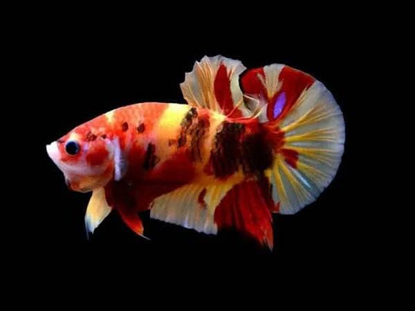 Cá Betta có nguồn gốc từ đâu và cách nuôi, cho ăn để cá Xiêm đẹp - 7