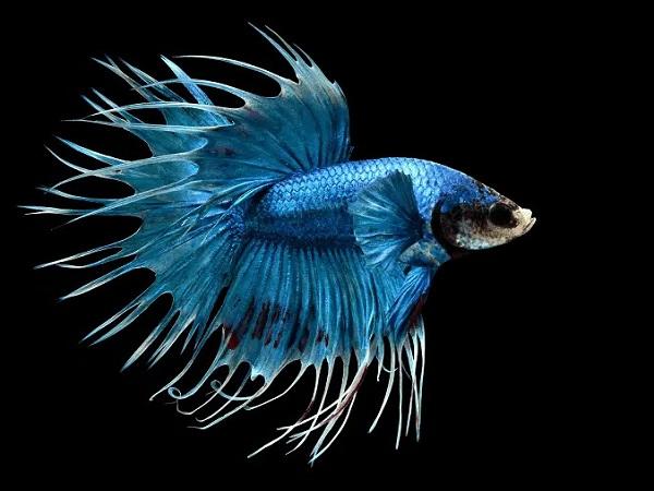 Cá Betta có nguồn gốc từ đâu và cách nuôi, cho ăn để cá Xiêm đẹp - 13