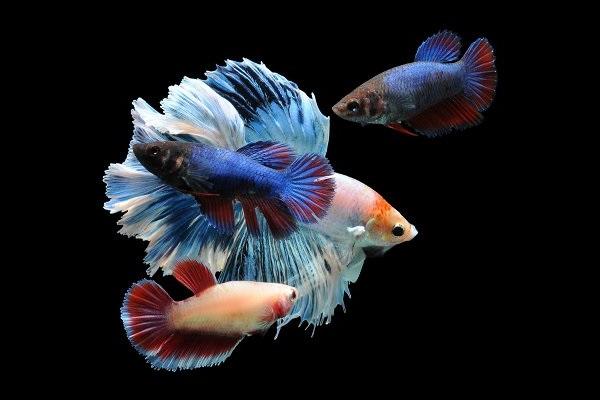 Cá Betta có nguồn gốc từ đâu và cách nuôi, cho ăn để cá Xiêm đẹp - 3