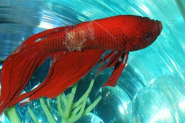 Cá Betta có nguồn gốc từ đâu và cách nuôi, cho ăn để cá Xiêm đẹp - 18