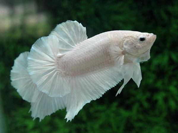 Cá Betta có nguồn gốc từ đâu và cách nuôi, cho ăn để cá Xiêm đẹp - 12