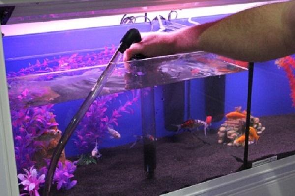 Cá Betta có nguồn gốc từ đâu và cách nuôi, cho ăn để cá Xiêm đẹp - 15