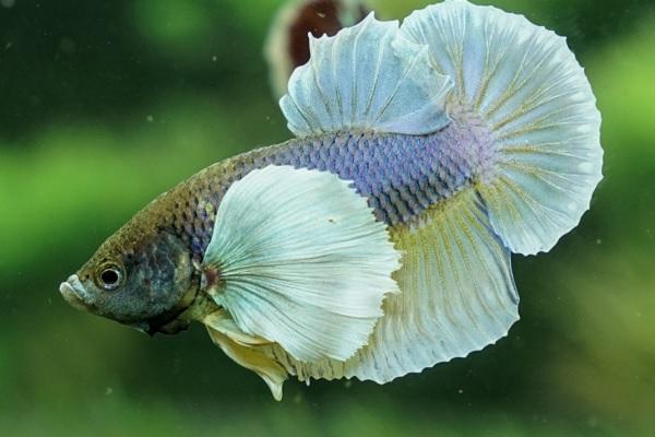 Cá Betta có nguồn gốc từ đâu và cách nuôi, cho ăn để cá Xiêm đẹp - 10