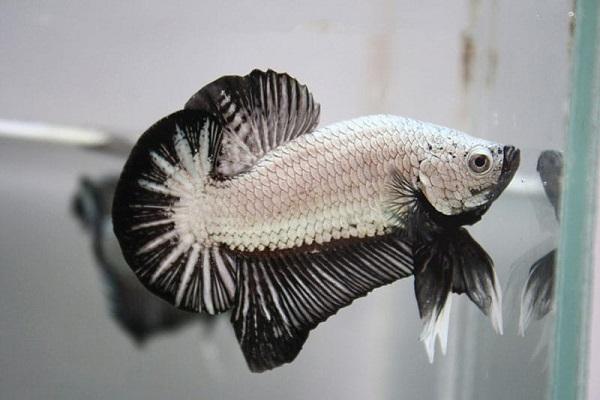 Cá Betta có nguồn gốc từ đâu và cách nuôi, cho ăn để cá Xiêm đẹp - 11
