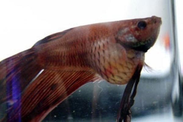 Cá Betta có nguồn gốc từ đâu và cách nuôi, cho ăn để cá Xiêm đẹp - 19