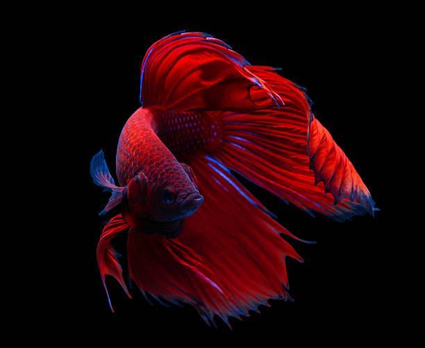 Betta red fancy