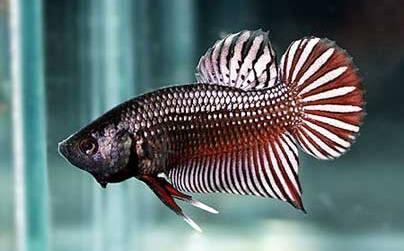 Kích thước của cá betta