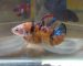 ca-betta-593-koi-yellow-galaxy-cam-tu (6)