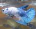 ca-betta-599-koi-blue-thien-ha-xanh (1)