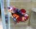 ca-betta-620-koi-red-fancy-samurai-legendary (5)