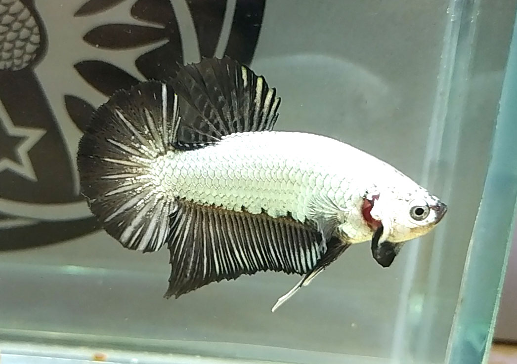 Mẫu cá betta rồng đen huyền thoại