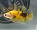 ca-betta-733-koi-super-yellow-mau-net-cang (7)