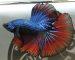 ca-betta-738-halfmoon-red-blue-vishnu (1)