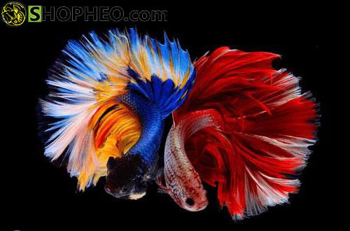 Hình ảnh cá Xiêm đẹp nhất thế giới