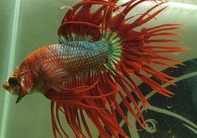 ca-betta-1462-crowntail-dark-red-devil (1)