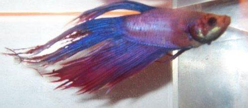 Hình đuôi con cá này bắt đầu bị tưa.