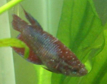 Hình một con cá bị bệnh đốm trắng