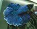 ca-betta-1533-halfmoon-blue-dai-duong-xanh (5)