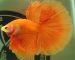 ca-betta-1542-halfmoon-cam-orange-mau-hiem (1)