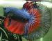 ca-betta-1582-halfmoon-blue-gas-red-butterfly (1)