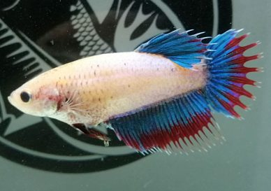 ca-betta-1752-mai-crowntail-red-eyed-green-dragon (1)